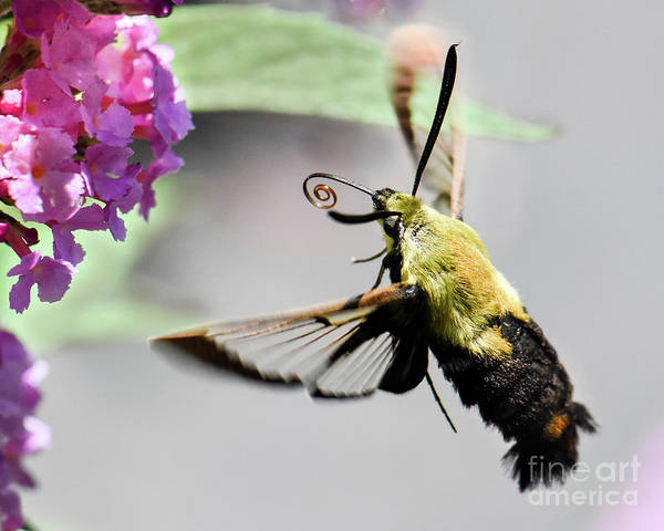 Hemaris Photograph - Hummingbird Moth by Amy Porter