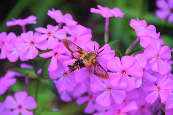 Hemaris Photograph - Hummingbird Moth And Phlox by Byron Varvarigos