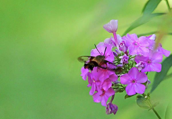 Hemaris Photograph - Hummingbird Moth And Pink Phlox by Debbie Oppermann