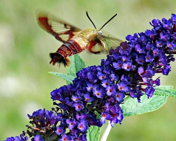 Clearwing Moth Photograph - Clearwing Hummingbird Moth And Purple Butterfly Bush by Cindy Treger