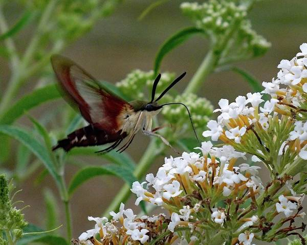 Clearwing Moth Photograph - Hummingbird Moth - Clearwing  Side View by Cindy Treger