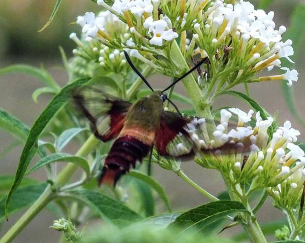 Clearwing Moth Photograph - Incoming Hummingbird Moth - Clearwing  by Cindy Treger
