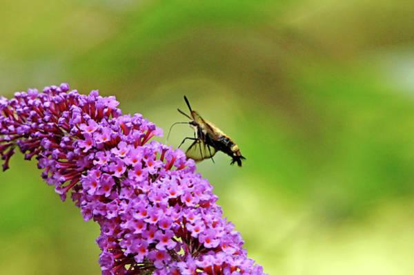 Hemaris Photograph - Hummingbird Moth by Debbie Oppermann
