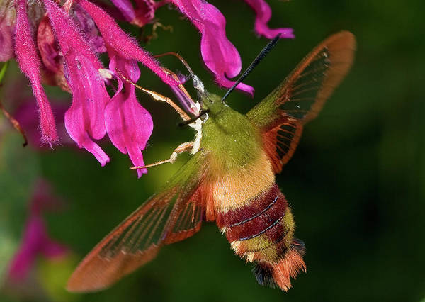 Photograph - Hummingbird Moth by Gary Shepard