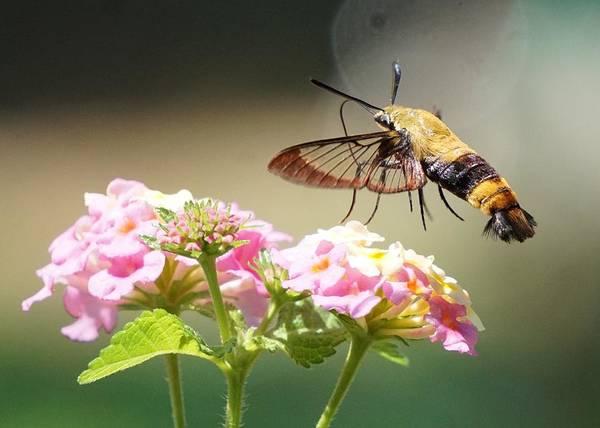 Hemaris Photograph - Hummingbird Moth by Karen Beasley