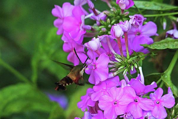 Hemaris Photograph - Hummingbird Moth Loving Pink Phlox by Debbie Oppermann