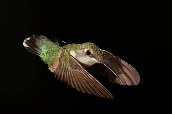 Wall Art - Photograph - Hummingbird On Black by Paul Freidlund