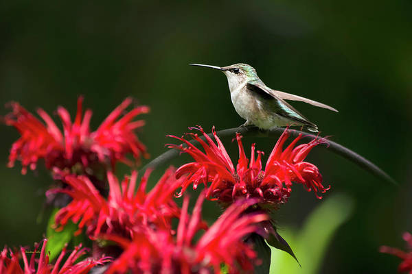 Beautiful Hummingbird Photograph - Hummingbird On Flowers by Christina Rollo