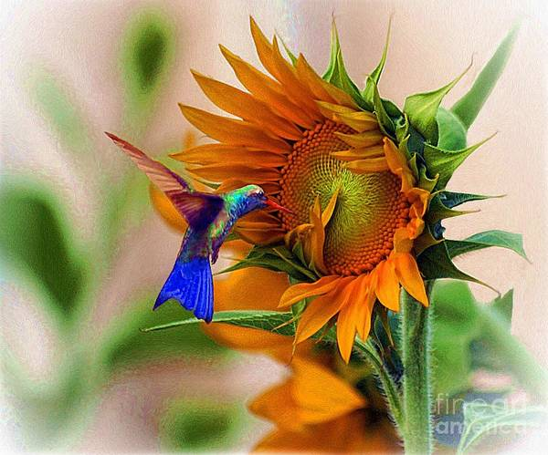 Photograph - Hummingbird On Sunflower by John  Kolenberg