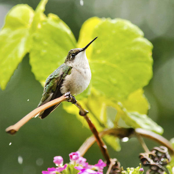 Wall Art - Photograph - Hummingbird On Vine In The Rain Square by Christina Rollo