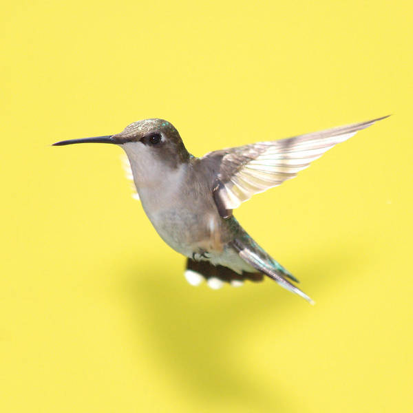 Wall Art - Photograph - Hummingbird On Yellow 1 by Robert  Suits Jr