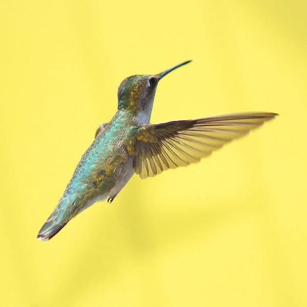 In Flight Photograph - Hummingbird On Yellow 3 by Robert  Suits Jr