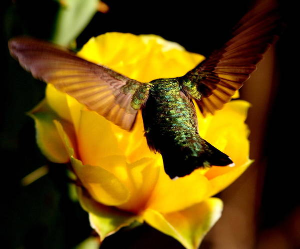 Wall Art - Photograph - Hummingbird On Yellow by George Gries