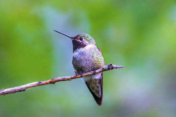 Hummingbird Portrait Art Print