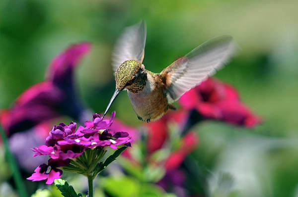 Wall Art - Photograph - Hummingbird Seeking Nectar by Laura Mountainspring