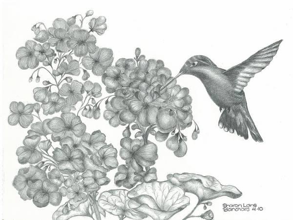Avian Drawing - Hummingbird  by Sharon Blanchard