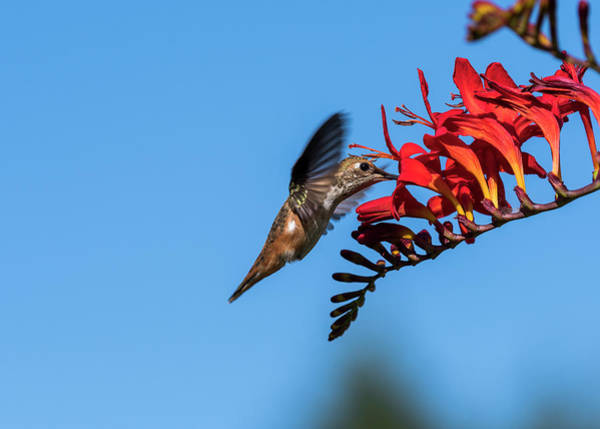 Photograph - Hummingbird Sips Nectar by Robert Potts