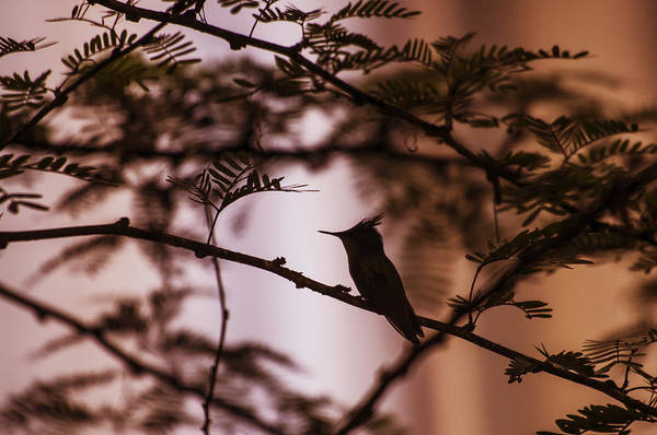 Colibri Photograph - Hummingbird Sunset by Konstantin Sevostyanov
