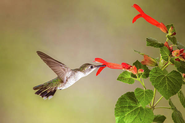 Photograph - Hummingbird by Tom and Pat Cory