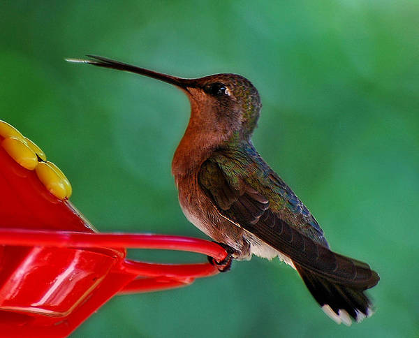 Photograph - Hummingbird Tongue by Ginger Wakem