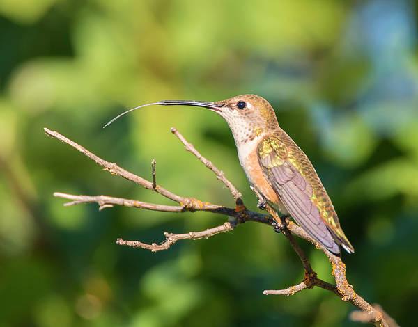 Photograph - Hummingbird Tongue by Loree Johnson