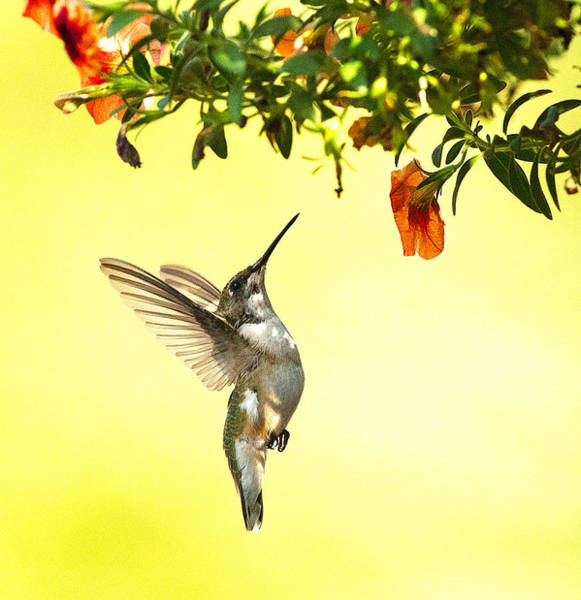 Hummingbird Under The Floral Canopy Art Print