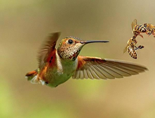 Photograph - Hummingbird Vs. Bees by Sheldon Bilsker