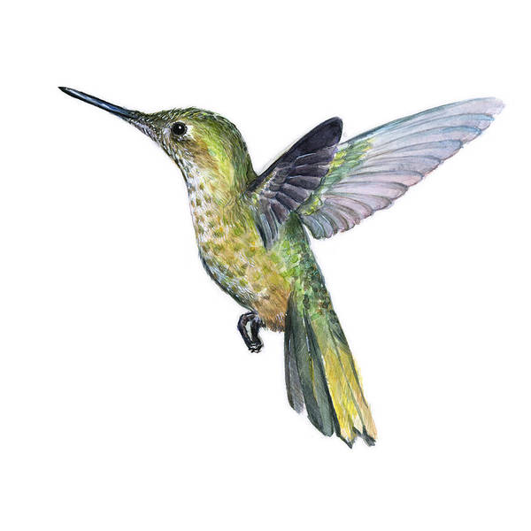 Small Birds Painting - Hummingbird Watercolor Illustration by Olga Shvartsur