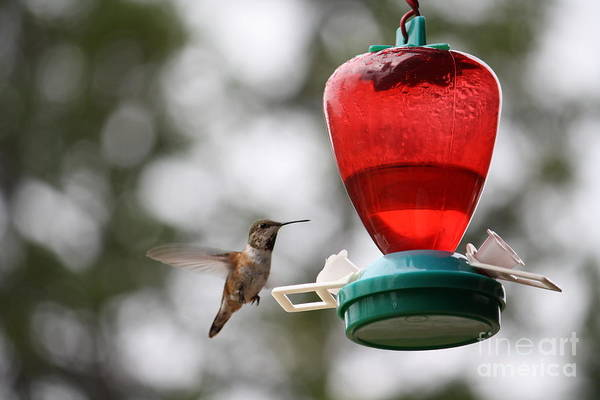 Photograph - Hummingbird by Wilko Van de Kamp