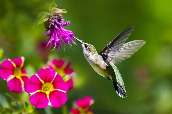 Beautiful Hummingbird Photograph - Hummingbird With Flower by Christina Rollo