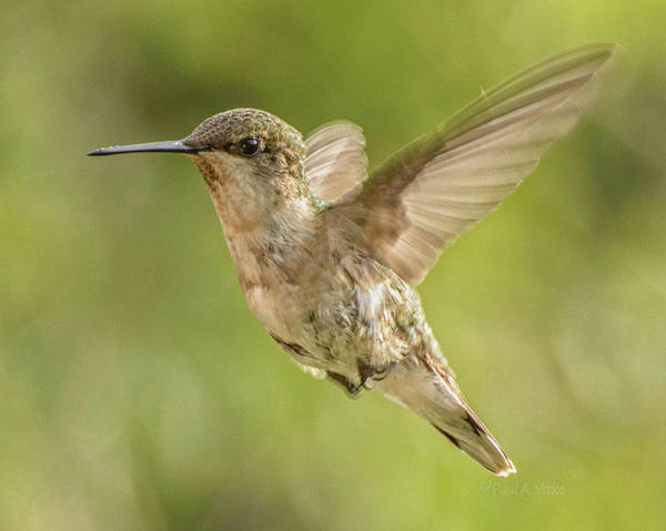 Photograph - Hummingbird_06 by Paul Vitko