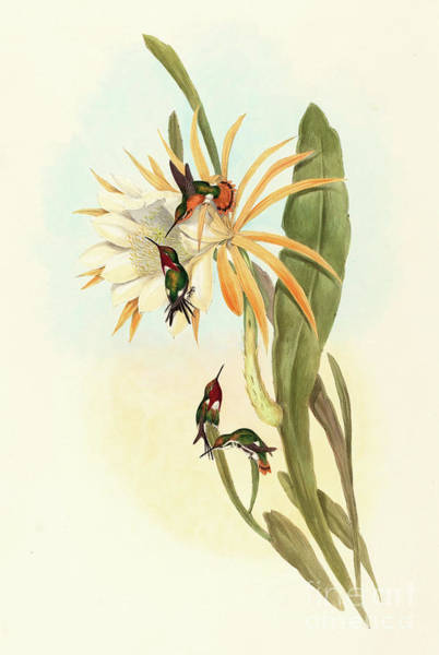 Wall Art - Painting - Hummingbirds, Calothorax Heliodori by John Gould