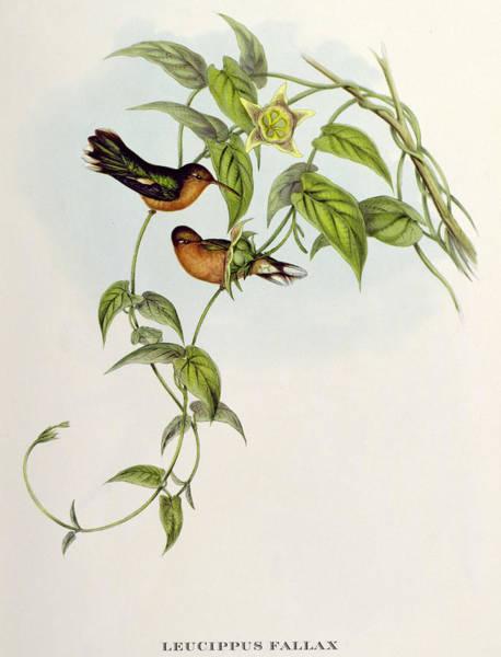 Wall Art - Painting - Hummingbirds by John Gould