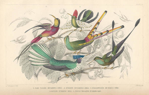 Wall Art - Drawing - Hummingbirds by Dreyer Wildlife Print Collections