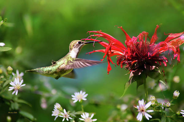 Wall Art - Photograph - Hummingbird's Savory Summer by Christina Rollo