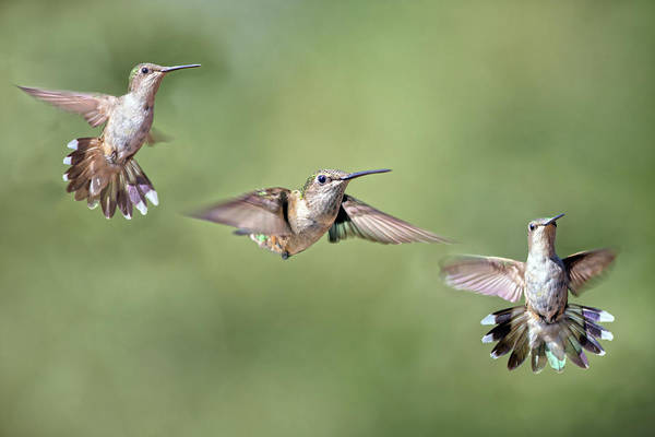 Hummingbird Wings Photograph - Hummingbirds The Girls by Betsy Knapp