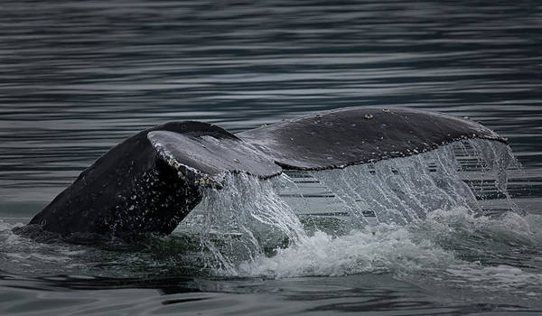 Photograph - Humpback Fluke by Randy Hall