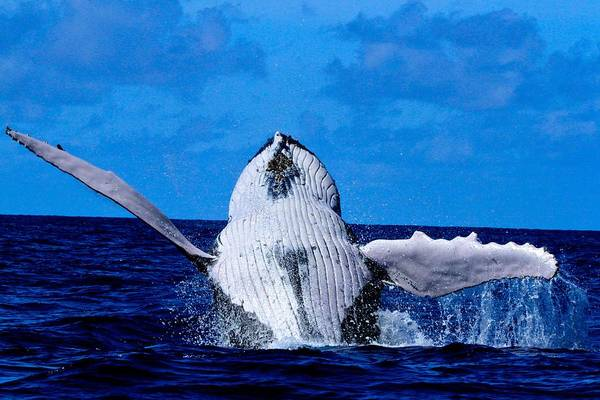 Save The Whales Photograph - Humpback Joy by Nan Hauser