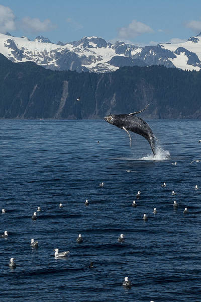 Photograph - Humpback Whale 2.0 Mp by Ian Johnson