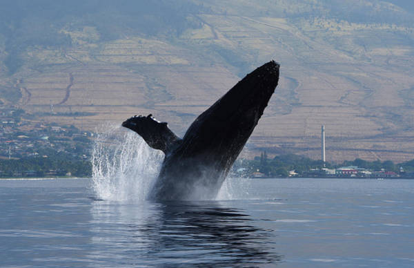 Photograph - Humpback Whale Breach by Jennifer Ancker