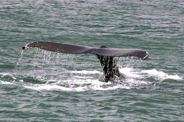 Photograph - Humpback Whale Flute Alaska by NaturesPix
