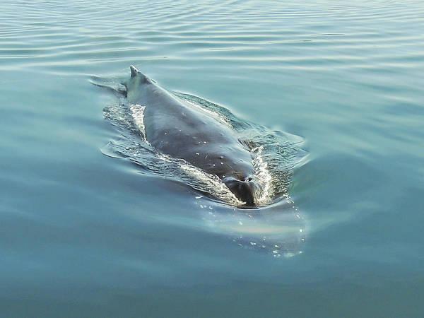 Photograph - Humpback Whale Diving Southeast Alaska by NaturesPix