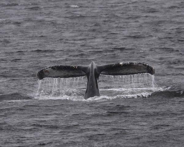 Wall Art - Photograph - Humpback Whale Fluke by Bruce J Robinson
