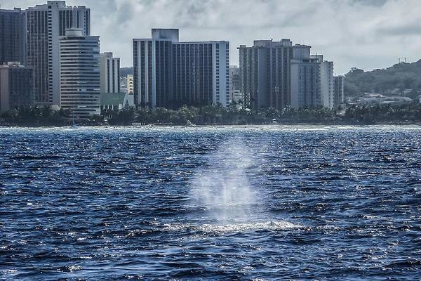Photograph - Humpback Whale Sounding Honolulu by NaturesPix