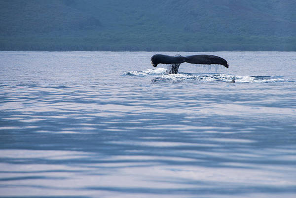 Photograph - Humpback Whale Tail by Jennifer Ancker