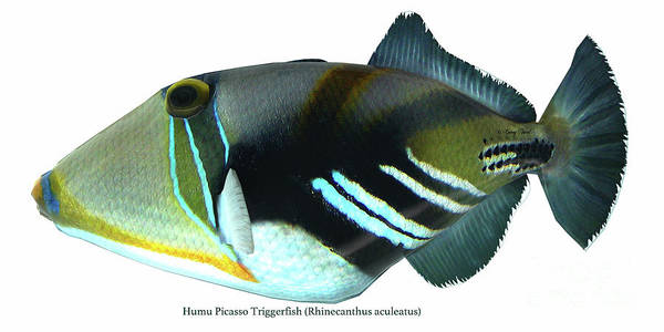 Temperament Digital Art - Humu Picasso Triggerfish by Corey Ford