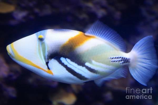 Hawaiian Fish Photograph - Humuhumunukunukuapua'a by DJ Florek