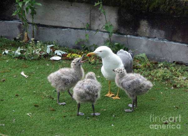 Photograph - Hungry Baby Seagulls by Cindy Murphy