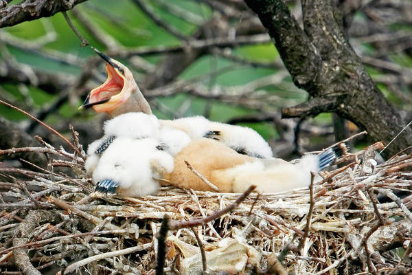 Photograph - Hungry Chicks by Dawn Currie