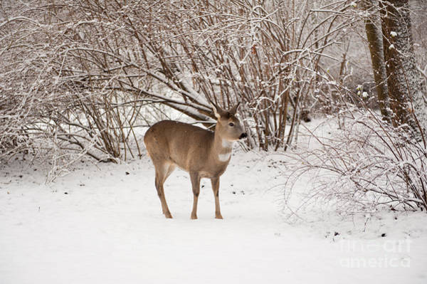 Wall Art - Photograph - Hungry Doe Search Food In Snow by Arletta Cwalina